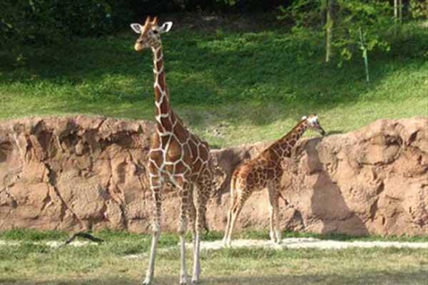 giraffes at Busch Gardens