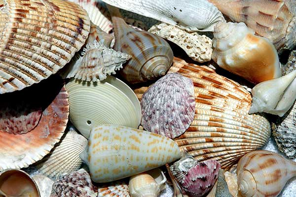 florida sea shells