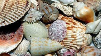 florida sea shells